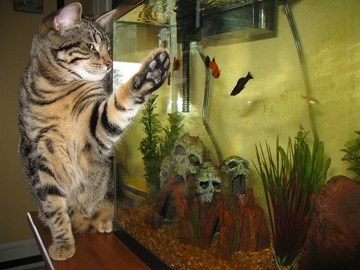 98 best images about aquarium cats on pinterest for Fish videos for cats