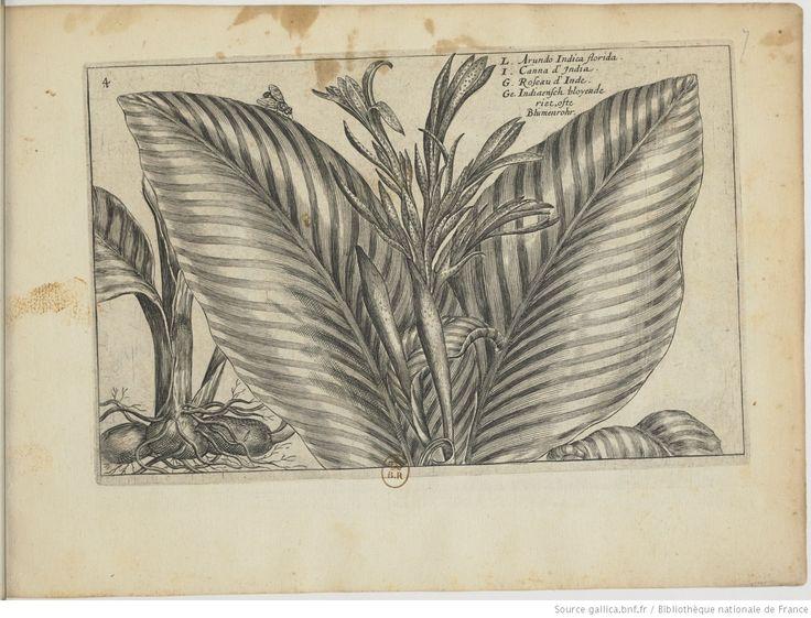 [Canne] d'Inde / [Balisier]; Hortus Floridus : in quo rariorum & minus vulgarium Florum icones ad vivam veramque formam / Crisp: Passei junioris, 1614