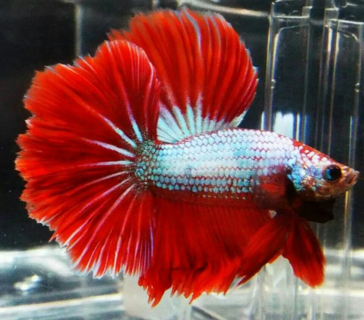 17 best images about betta fish on pinterest beautiful for How big can a betta fish get