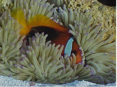 17 best images about aquarium fish on pinterest aquarium for Clown fish scientific name
