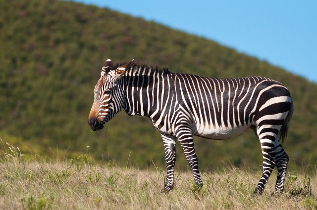 Mountain Zebra The animal is currently classified as vulnerable and has experienced loss of habitat through agricultural practices, and they are also poached for both their skin and meat. During the 1930s, the species was hunted down to a population of under 100, but thankfully their numbers have since climbed to close to 3,000 in the wild. (Photo: Shutterstock)