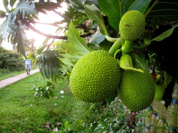 Exotische Bäume im Überblick: kennen Sie diese exotischen Früchte? - http://freshideen.com/dekoration/exotische-baume.html
