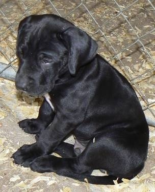Great Dane Lab Mix Puppies
