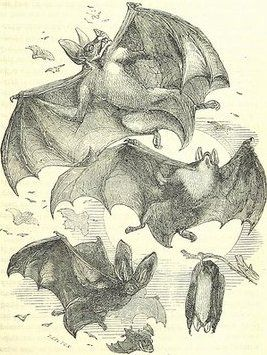 Tropical Bats  From: 1868 The World's Explorers  by Henry Dulcken  via The British Library (PD-100)   suzilove.com