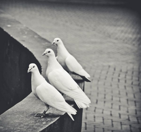 Three White Doves