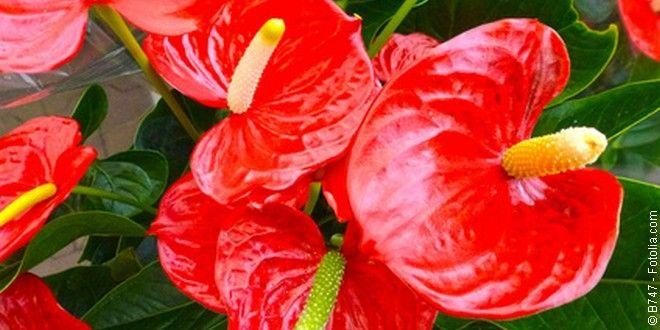 L'anthurium, une belle tropicale pour intérieur coloré ! http://www.jardipartage.fr/anthurium/