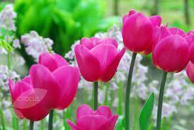 tulip barcelona - may- 45cm