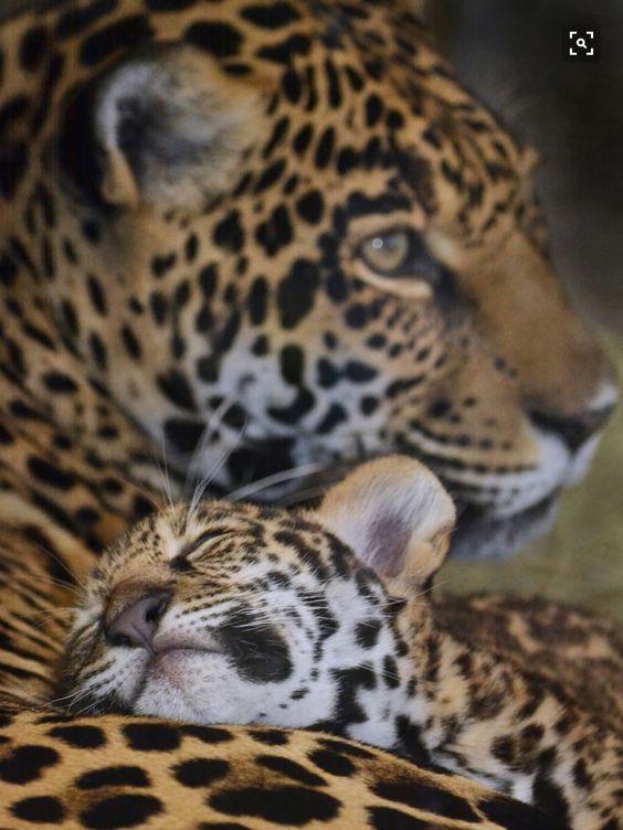 cute .... cheetah mum and cub  #gepard -- quelle:     lahoriblefollia.tumblr.com