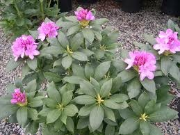 Roseum Elegans Rhododendron - Landscaping company from Morgantown says it's the only deer-resistant rododendron