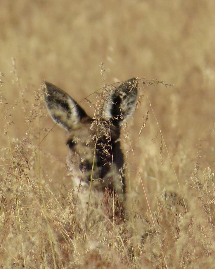 Australian Red Kangaroo- Taken is Perth, Western Australia