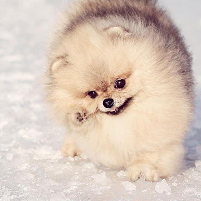 playful mood #Pom #Pomeranian #spitz