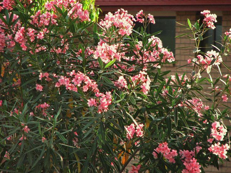 Leander - Nerium Oleander - rózsaszín