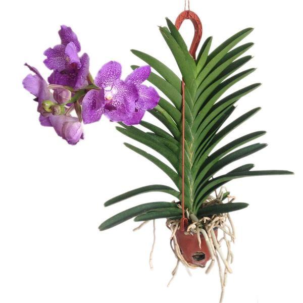 M s de 25 ideas incre bles sobre orquidea vanda en for Cuidado de las orquideas moradas