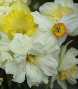 flower-bulb faq's. Why didn't your daffodils bloom? How to grow dahlias? What bulbs will naturalize (and not); which ones are animal-proof? All this and more. awaytogarden