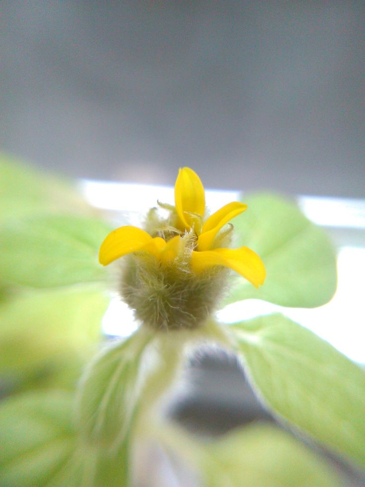 My little sunflower blossoming.