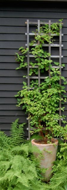 growing some clematis like this in a tricky spot ... tall container keeps the roots cool side yard next two potted citrus