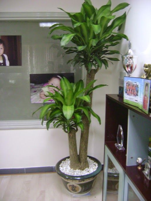 8 النباتات الدخان استخدامها في المكاتب، حديقة