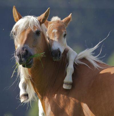 baby horse hugging mama