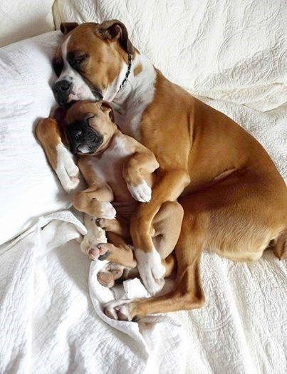 Boxer Pup Snuggling With Mom