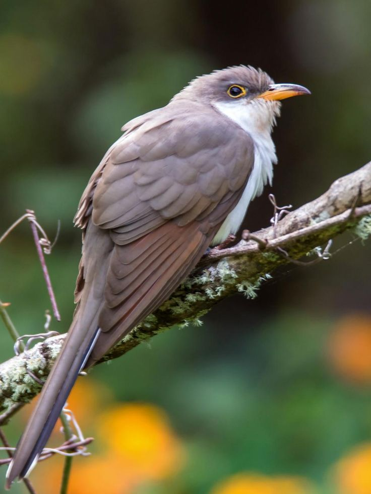 """yellow-billed cuckoo is a strikingly beautiful bird with a long tail, and even though cuckoos are large birds, they are hard to spot unless they move or call. The """"kuk-kuk-kuks, kow-kow-kows, and the koo-koo-koos"""" will prompt a stop-and-search for this elusive bird. Big grasshoppers, beetles, cicadas, and caterpillars, even the hairy ones, are on the menu."""