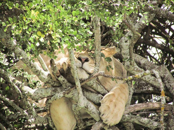 When the lion sleeps tonight? #Africa #Travel #wildlife #lion