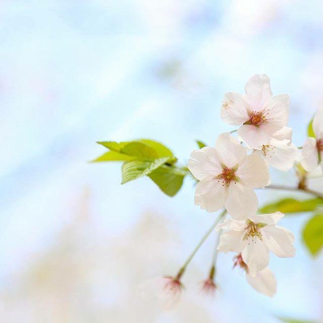 【nasakura.japan】さんのInstagramをピンしています。 《【大和言葉:携わる】 大勢を前にしたスピーチをする時、「〇〇の仕事をしてきました」というより「〇〇の仕事に携わってきました」と言った方が格調高くなりますね。 「携わる」という表現を使うだけで、重みと自身が醸し出されます。  今度のスピーチで「携わる」を使ってみてください。  Japanese Beauty in Daily Life ♡日本の日常の美を伝える #566  奈奈より♡ Photo by Photo-AC ☆.。.:*・°☆.。.:*・°☆.。.:*・°☆.。.:*・°☆ #桜 #sakura #コスメ#奈桜  #japan》
