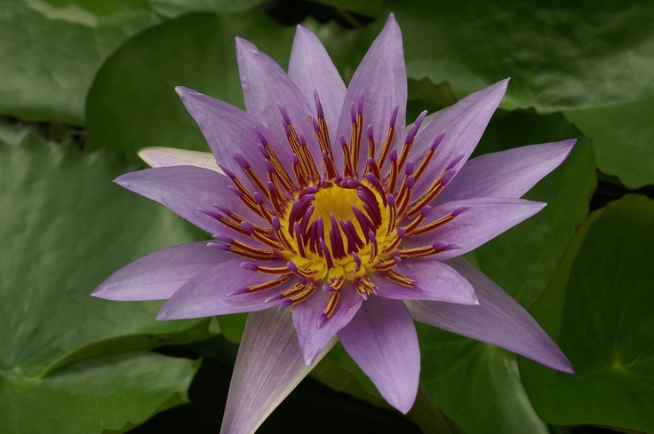 The 22 best nymphaea images on pinterest lotus flower water nymphaea colorata nymphaea colorata wikipedia the free encyclopedia mightylinksfo