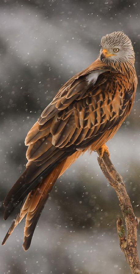 Red kite in a southern Sweden blizzard • photo: Henrik Just. The Red Kite is a Near Threatened species of hawk that lives across much of Northern Europe. It winters as far south as northern Africa. The greatest threats to this species are pesticide use and habitat destruction.