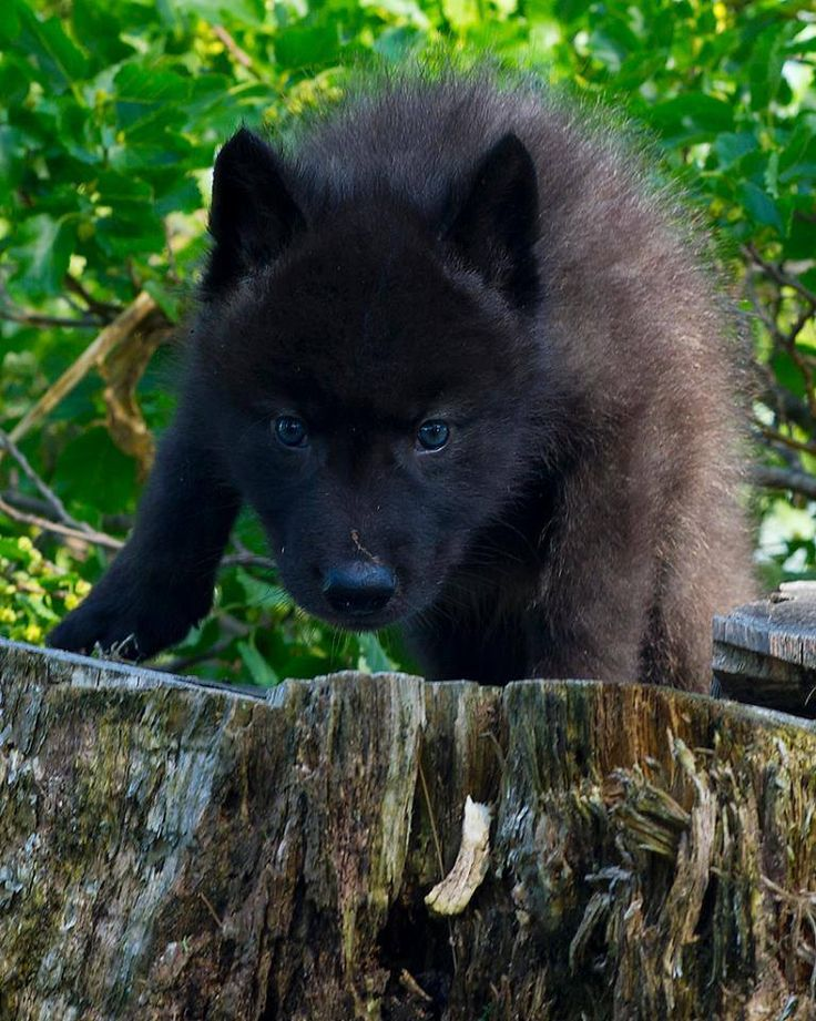 adorable wolf pup