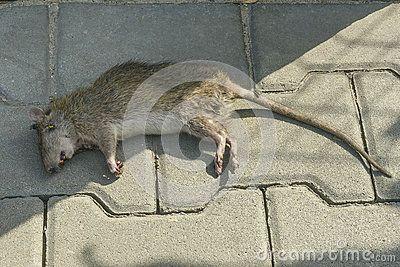 Poisoned rat lying on the sidewalk