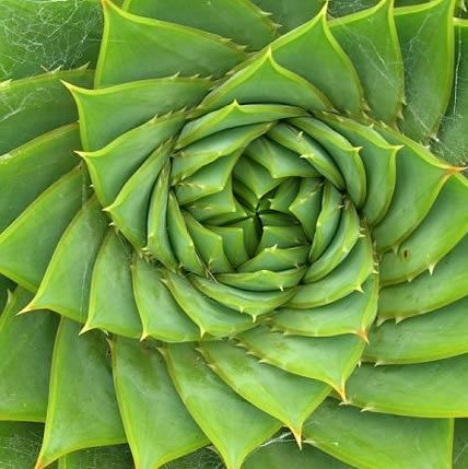 Plant growth is governed by the Fibonacci sequence, which can be understood as a law of accumulation. The role of the Fibonacci…