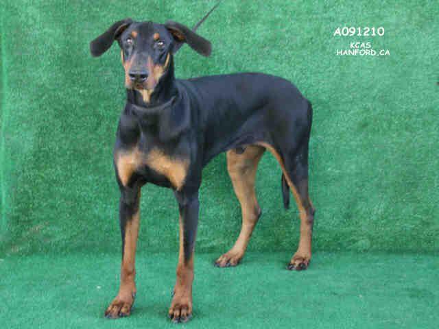 Doberman Pinscher Dog For Adoption In Hanford Ca Adn 779097 On