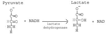 SparkNotes: Glycolysis: Anaerobic Respiration: Homolactic Fermentation