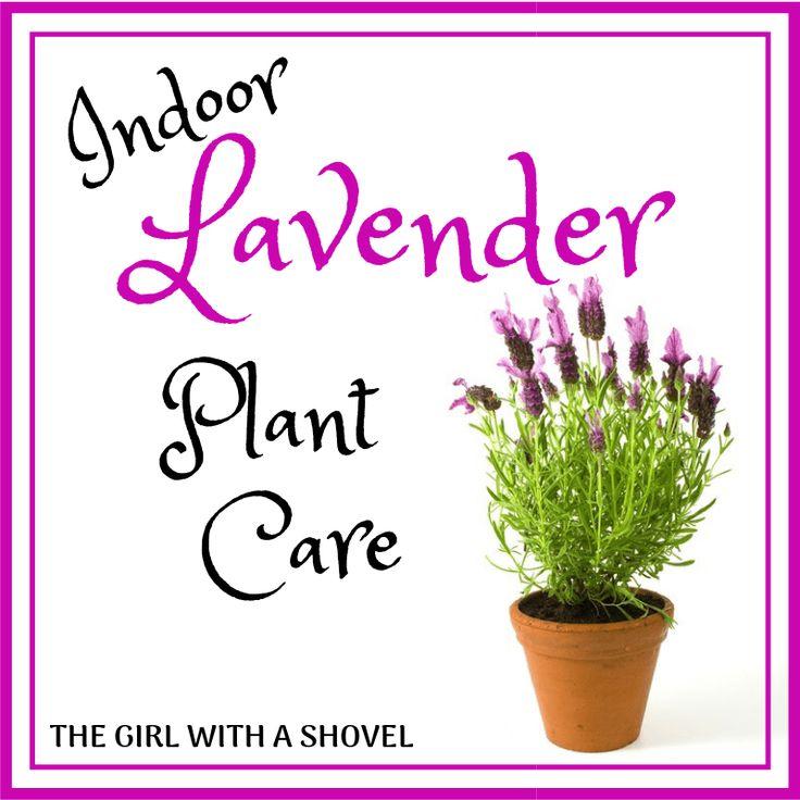 Indoor lavender plant care in 2020 lavender plant care