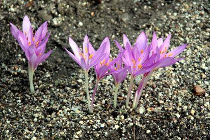C mo plantar bulbos de azafr n plantas y flores - Como cultivar azafran ...