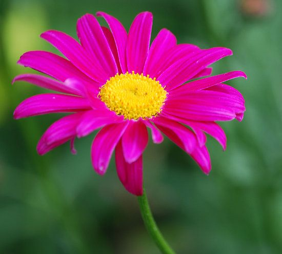~~Neon pink flower ~ daisy by Sarah Fenn~~