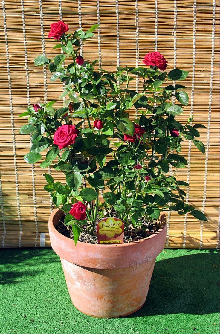 Cómo cultivar rosas trepadoras en macetas ~ Conoce más de tu Jardín