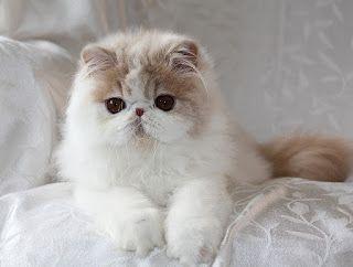 kucing persia himalaya - Karakter Cerdas Kucing Persia Himalaya & perawatannya | www.agrinak.com