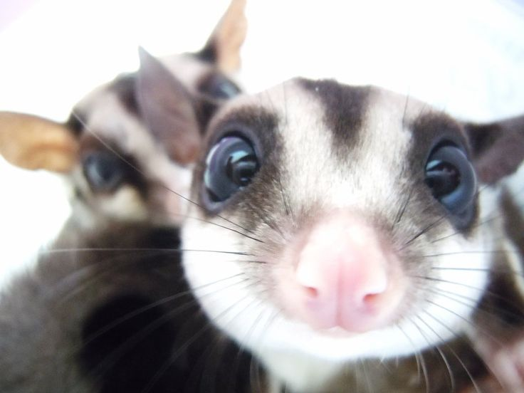 how to look after a sugar glider