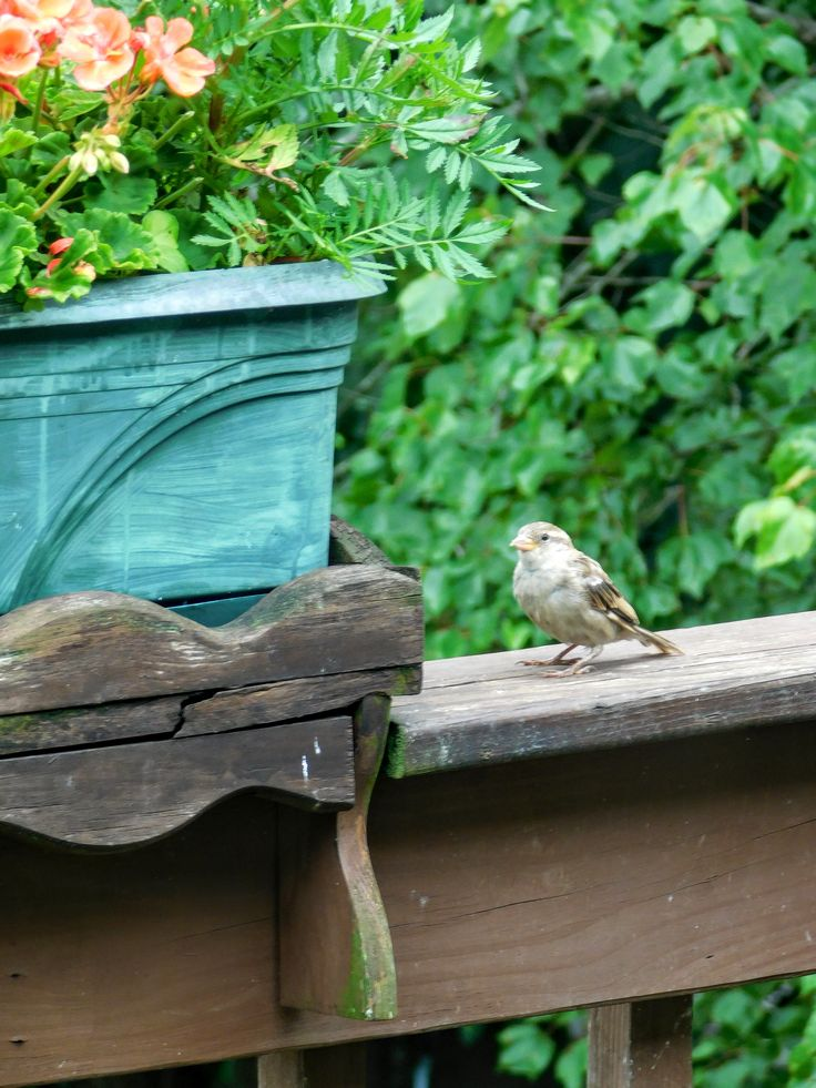 Fluffy Sparrow Fledgling / s.d.'s Photo July 2017