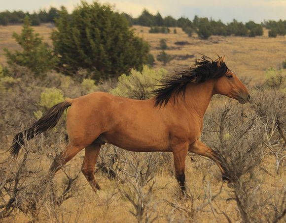 "The beautiful Kiger Mustangs from Oregon. The horse inspiration for the movie ""Spirit""."