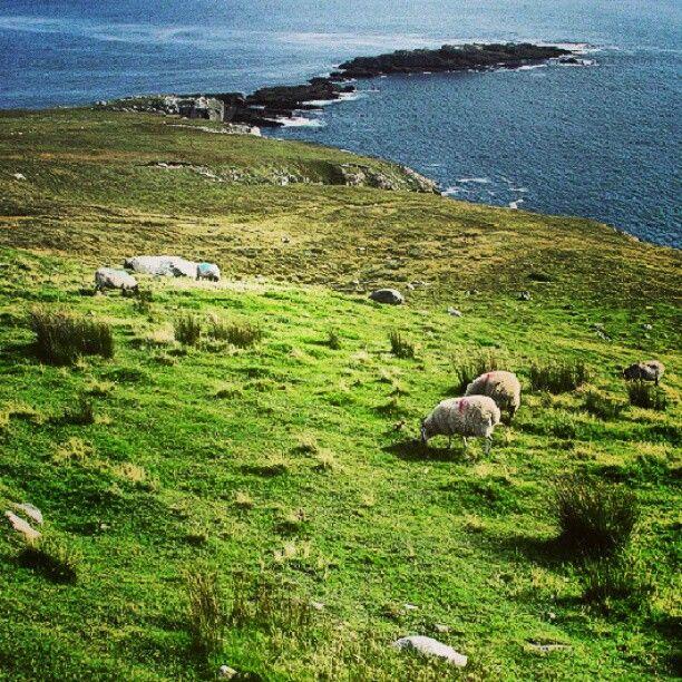 Il Reporter #Sheep to #pasture on #Achill #Island #Mayo #Ireland