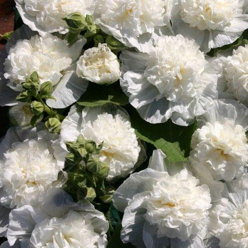 Alcea rosea 'The Bride' ™