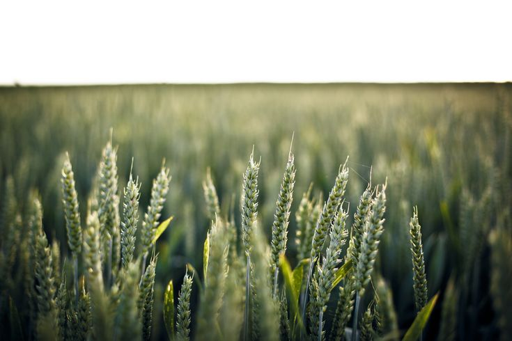 [#HD Wallpaper] A close up of a group of fresh green wheat ears in a wheat field - #Triticale #Barley #Rye #Cereal Sky, Close-up, Wheat  - Photo by Lukas Schweizer @lukasschweizer (unsplash)  - Follow #extremegentleman for more pics like this!