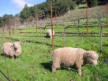"Babydoll Sheep in Vineyards and Orchards -sustainable weed control & fertilization.  Grow to 24"" & can't reach/eat grapes or fruit! No machines/fuel needed. Make more per acre & spend less!  Add wool sales to grape sales & no feed costs except in winter.  Less manpower. Sustainable farming at its best.  Plus they're adorable.  Great draw for agrotourism!"