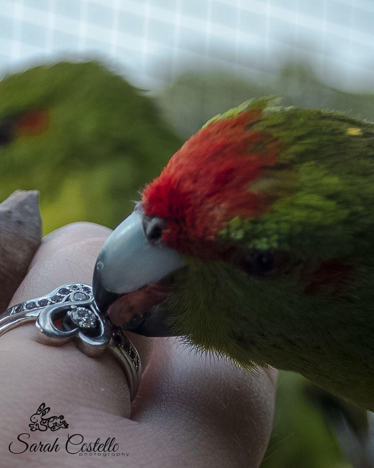 #Kakariki #parrot #diamonds #Love