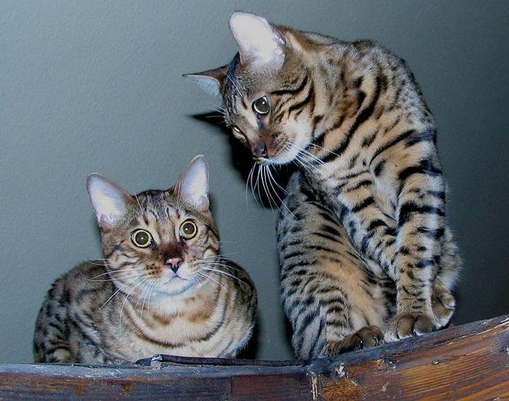 The Bengal Cat Personality - #bengalkittens -Tops Bengal Cat Breeds at Catsincare.com!