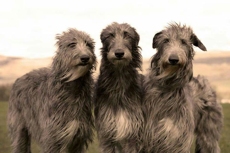 Irish wolfhounds...this looks like a band photo! When is their first release?