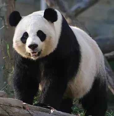 Oso panda 7.png