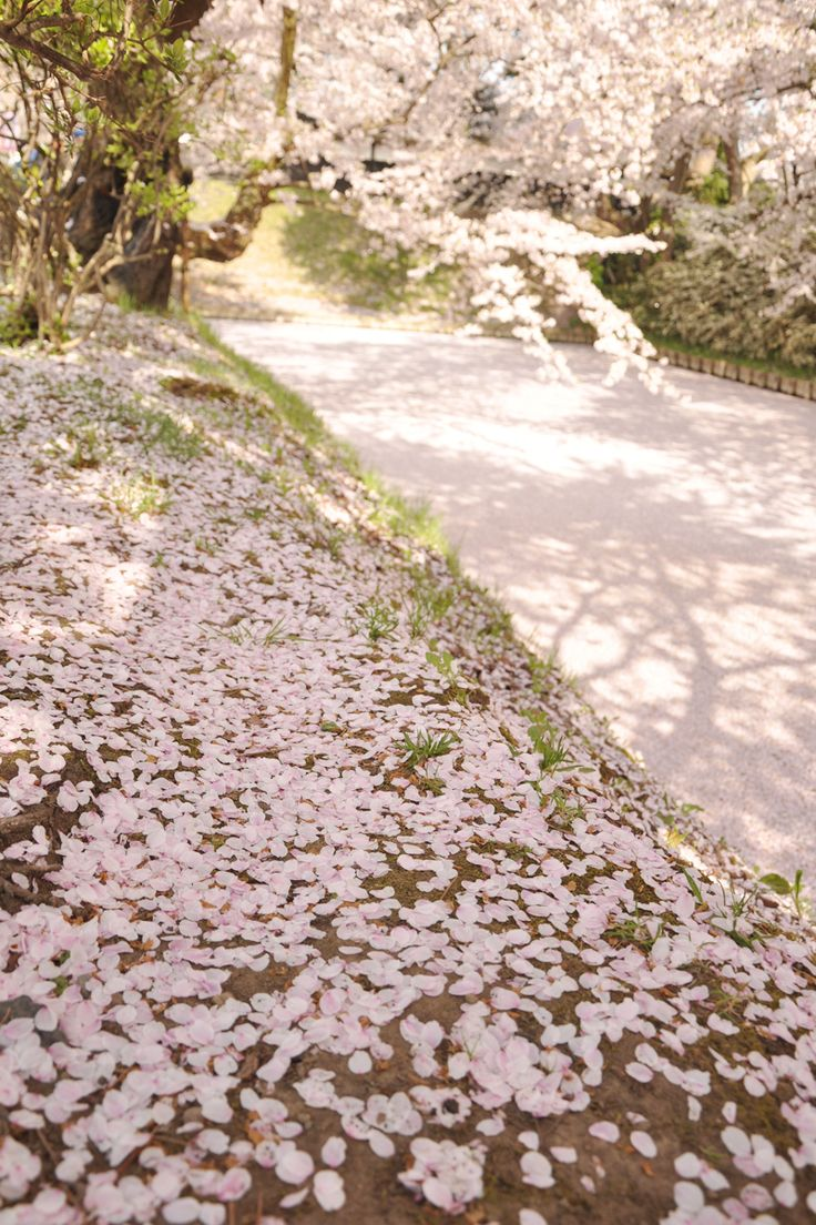 おすすめの桜の名所。日本の風情を感じられる青森県弘前市の花筏!